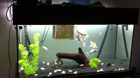 aquarium pour carpe koi koi carp aquarium nishikigoi 2