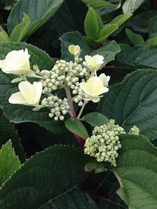 Hortensie Wims Red : hydrangea paniculata 39 wim 39 s red 39 rispenhortensie 39 wim 39 s ~ Michelbontemps.com Haus und Dekorationen