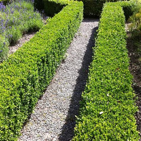 buxus sempervirens common box bushy evergreen hedging