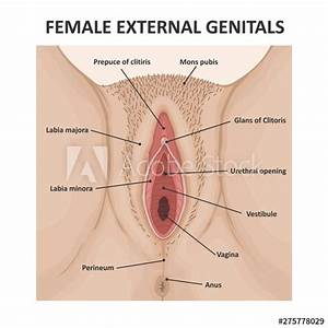 Female Anatomy External