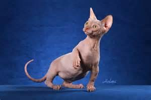 hairless cat the ugliest cat breeds in the world sphynx kangjam