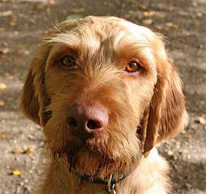 The Wirehaired Vizsla: One of The Best Hunting Breeds ...