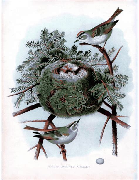 instant art printable superb bird  nest print