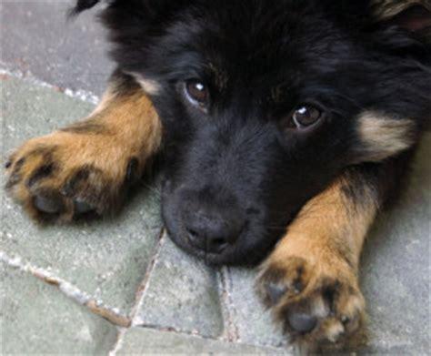 learn    german shepherd border collie mix