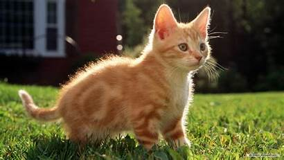 Animal Desktop Wallpapers Screensavers Cats Cat