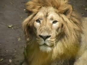 ライオン:あなたはライオンからのハグと ...