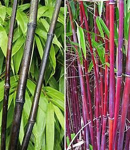 Bambus Im Garten : bambus kollektion bambus bei baldur garten ~ Markanthonyermac.com Haus und Dekorationen