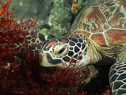 Sea Turtle Turtles Wallpapers Background Animal Tortoise