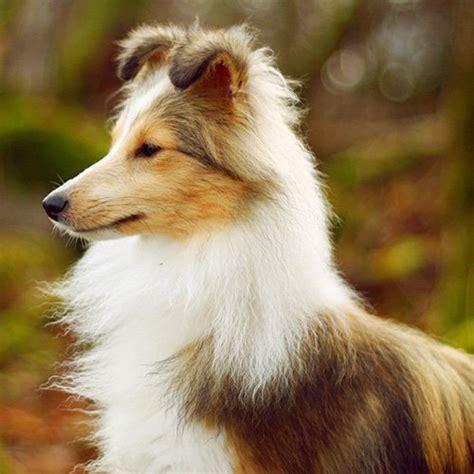 smartest dogs the top 10 smartest dog breeds
