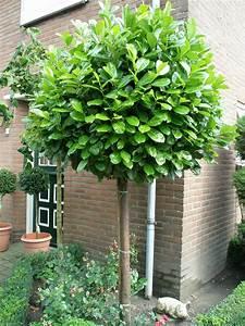 Kleine Bäume Für Vorgarten : 103 bollaurier standard trees front garden ~ Michelbontemps.com Haus und Dekorationen