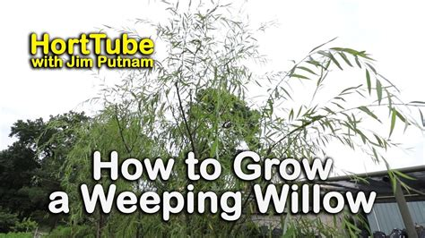 how does it take a tree to grow top 28 how does it take for a tree to grow how to grow a weeping willow salix babylonica