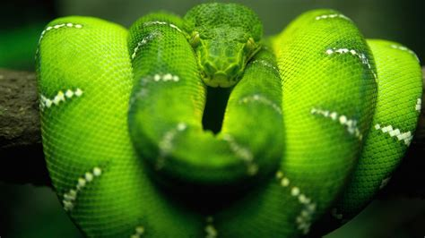 Snake Green Reptile Boa Constrictor Wallpapers Hd
