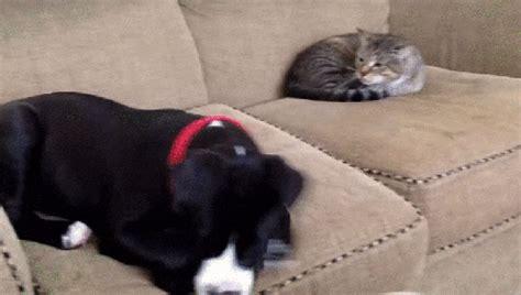le canapé gif sur yvette top 15 des chats qui ont montré aux chiens qui était le