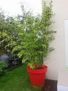 Bambous En Pot : bambou phyllostachys nigra en pot forum ~ Melissatoandfro.com Idées de Décoration