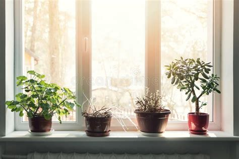Window Sill Plant Pots by Indoor Plants In Pots On Window Sill Stock Image