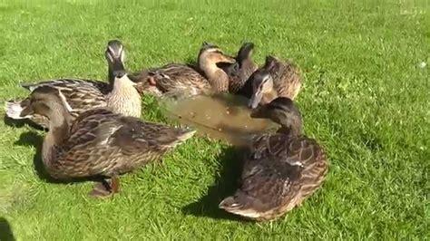 Enten Im Garten  Ducks In The Garden  Entspannung In Der