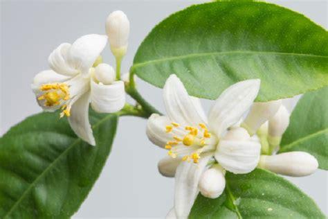 fiori limone significato dei fiori il limone pollicegreen