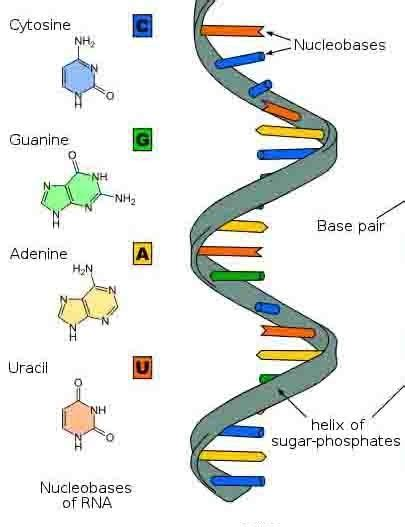 what is the full form of dna and rna quora