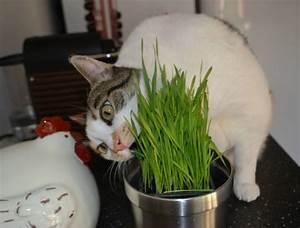 Herbe à Chat : hierba para gato tipos y usos yummypets ~ Melissatoandfro.com Idées de Décoration
