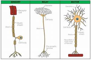 What Is The Difference Between Sensory Neuron And A Motor