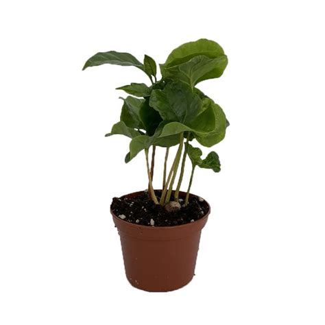 """Piloting of arabica coffee rooted cuttings as plant materials in the highlands. Coffee Bean Plant - 2.5"""" Pot - Coffee Arabica - Walmart.com - Walmart.com"""