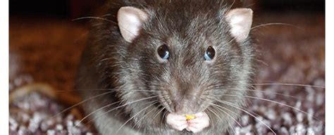 Ratten Im Komposthaufen Bekämpfen Ist Leicht Wurmweltende
