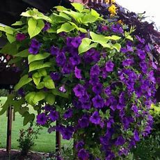 25+ Best Ideas About Fast Growing Vines On Pinterest