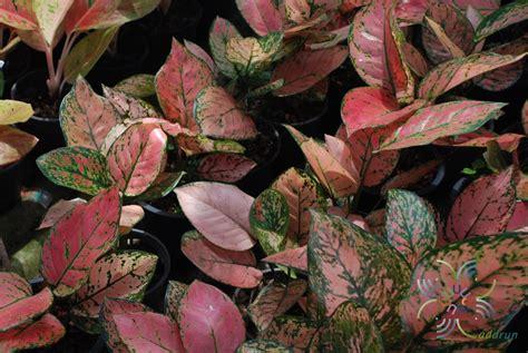 อโกลนีมา วาเลนไทน์ Aglaonema sp. 'Walenthai' - ข้อมูลพันธุ์ไม้