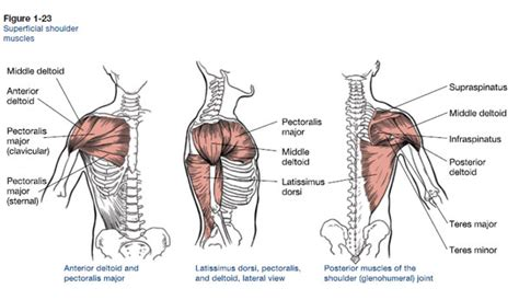 Shoulder Pain Incline Bench by Muscles That Move The Arm