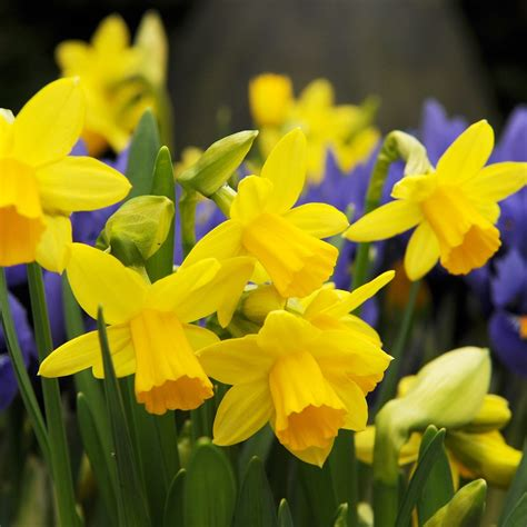 buy miscellaneous daffodil bulbs narcissus tete a tete