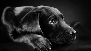 dog, Animals, Labrador Retriever, Black, Puppies, Closeup ...