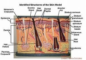 Skin Gland