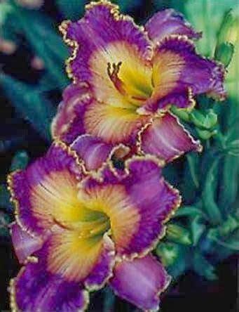 Daylily Violet Etching