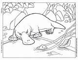 Platypus Pages Coloring Colouring Picolour Perry Getcoloringpages Billed Duck sketch template