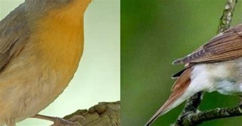 Sejak itu, mereka menyebutku sebagai betina, atau betina si bruno. Perbedaan Jantan/Betina Burung Decu Kembang / Karakteristik Dan Perawatan Burung Decu Paling ...