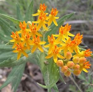 A few native milkweeds