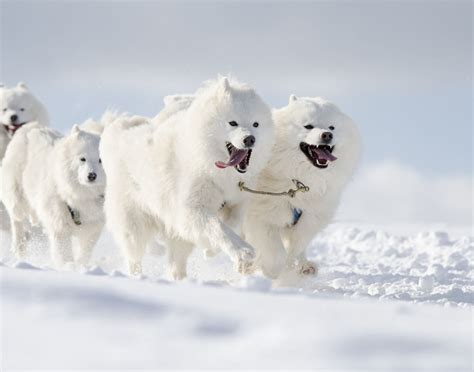 Remarkably Astonishing Facts About Sled Dogs