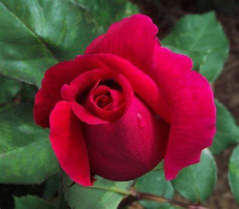 ดอกกุหลาบ: ประวัติของดอกกุหลาบ