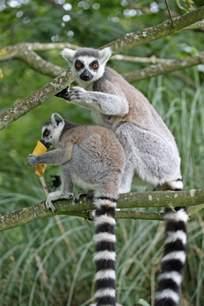 Ring-tailed Lemurs Are Endangered