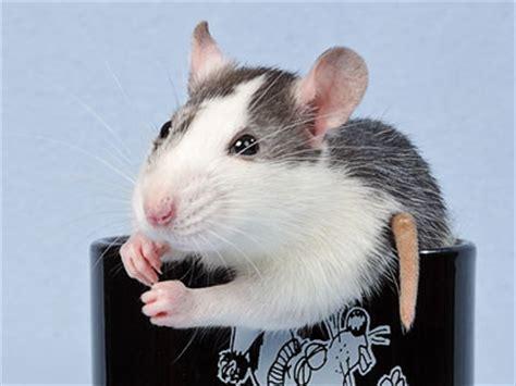 wwwbelleratde ratten