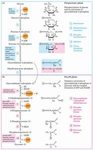 Enzymatic Diagram Of Glycolysis