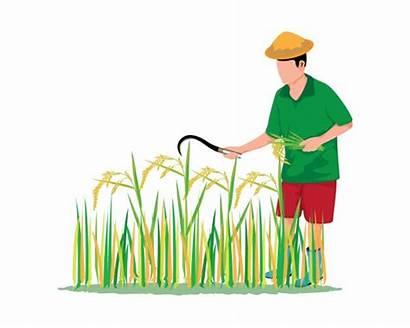 Rice Vector Cartoon Harvest Farmer Sticky Mango