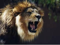 Lion Roaring Wallpaper...