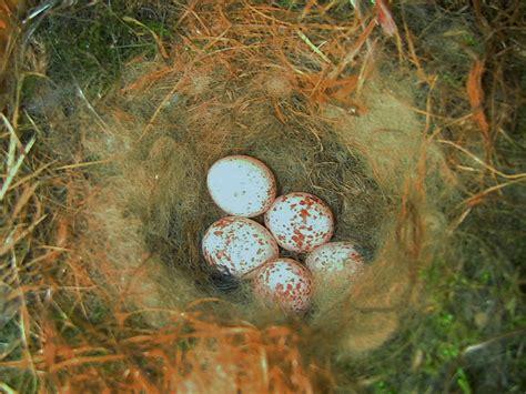 pluff mud perspectives birdbox battles eastern bluebirds  carolina chickadees