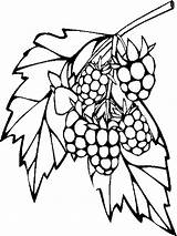 Coloring Raspberries Berries Printable Mycoloring Fruits Recommended sketch template
