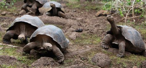 tortugas galapagos caracteristicas   donde vive