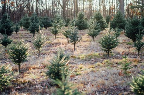 christmas tree farms in topsfield ma where you can cut down trees welcome smolak farms autos post