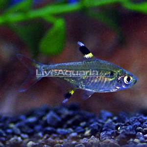Tropical Fish for Freshwater Aquariums X Ray Pristella Tetra