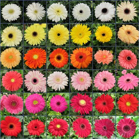 gerbera daisies colors a gerbera chart sling beautiful flowers