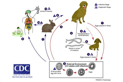 Epidemiologic And Zoonotic Aspects Of Ascarid Infections